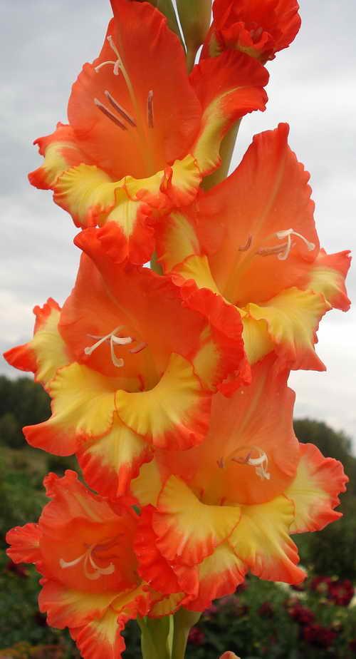 голландские гладиолусы фото