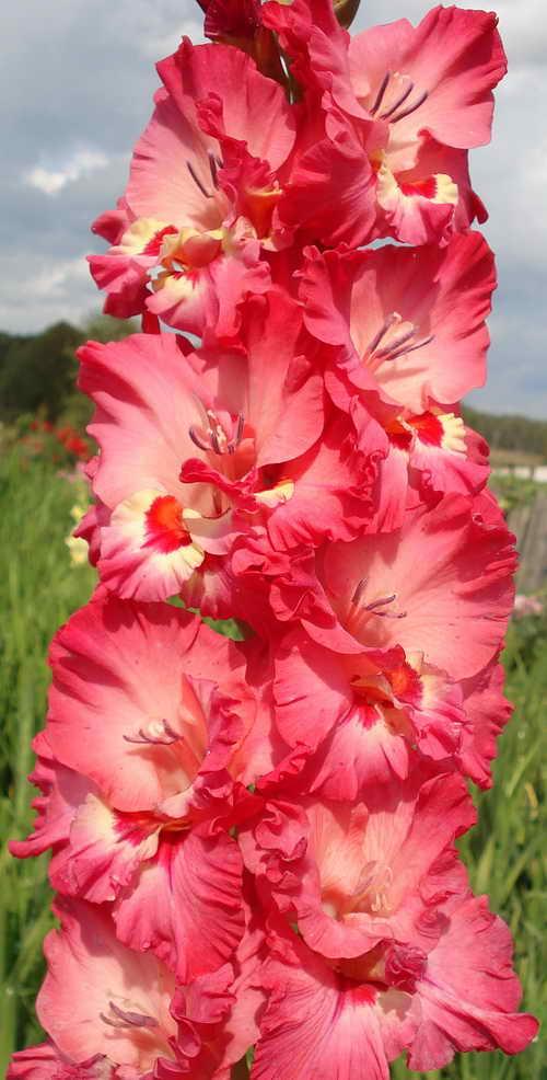 Многолетние садовые цветы картинки и название 15