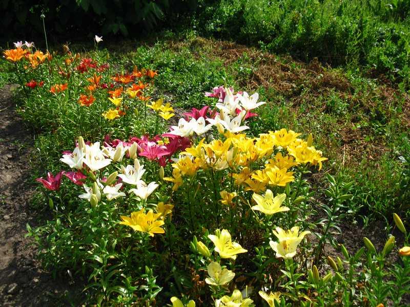 Выращивание и уход за лилиями на даче 43