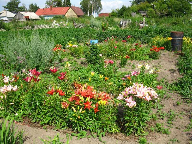 Лилии в ландшафтном дизайне: варианты посадок